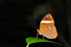 Pan butterfly. Of Thailand background Stock Photo