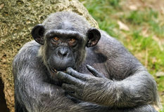 Pan, chimpanzee Stock Photo