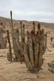 Pan de Azucar, Chile, cactus. Cactus in Chile's Atacama Desert Stock Photos