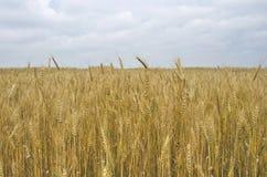 Pan de la cosecha del trigo de los oídos del campo Foto de archivo libre de regalías