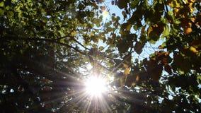 Pan door treetops met zonnestralen en lensgloed stock footage