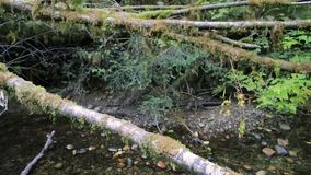 From forest creek to mossy boughs. Pan from forest creek to green boughs stock footage