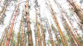 Pan, Kiefernwald, Ansicht von unten stock video footage