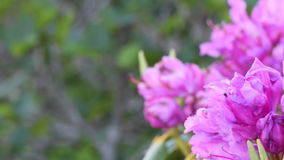Pan Left Rhododendron Close Up to Blur stock footage