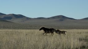 Pan from Mother and baby horse running away in Mongolia stock footage