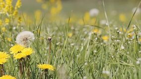 Pan move over dandelion on meadow in spring breeze. Pan move over dandelion (Taraxacum officinale) with seed on meadow in spring breeze, tranquil springtime stock video