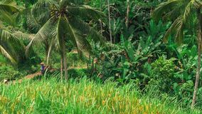 Pan over coconut palm trees and Tegalalang Rice Terrace Field. Bali. Indonesia.  stock video footage