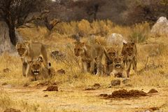 Big pride of lions content in company, coming in to drink. The Pan pride of Botswana walking across the wilderness to the waterhole to drink in this hot weather stock image