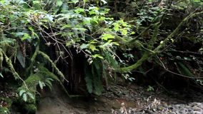 Pan of rain forest stock footage