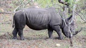 Pan from a rhino walking stock footage