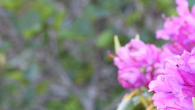 Pan Right Blur to Rhododendron Close Up stock footage
