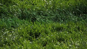 Pan right of green blades of grass blowing in the wind. Video of pan right of green blades of grass blowing in the wind stock footage
