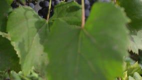 Pan schoss von reife Trauben in der Herbstsaison Weinberge bei Sonnenuntergang in der Herbsternte stock video