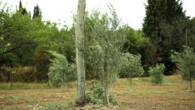 Pan shot of field of olive trees. Olive trees bend and shake from the strong and cold winds stock video footage