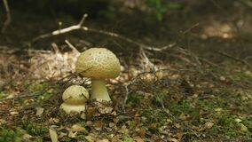 A pan shot of fungi growing on the forest floor of the tarkine wilderness in tasmania