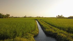 Pan shot of green grass of rice field on sunset with sunlight.