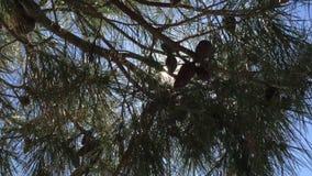 Pan shot of sun thru pine tree stock video