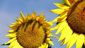 Pan shot of two sunflowers on a sunny day. Different shots of sunflower and bees gathering the pollen on flower head stock video footage