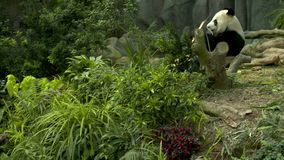 Pan from small bushes to a panda. Pan and tilt from small bushes and underbrush to a panda bear lounging and eating bamboo stock video