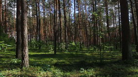 Pan summer forest. Panorama of green summer forest stock video footage