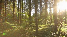 Pan summer forest stock footage