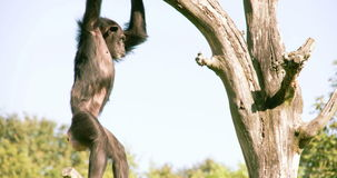 Pan troglodytes or chimpanzee is going down from the tree FS700 4K stock video footage