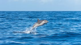 Pan tropical spotted dolphin