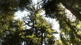 Pan van de luifel van een kustcalifornische sequoiabos stock video