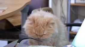 Pan van Perzische kat wordt geschoten die hairball deeg op stoel eten die stock footage