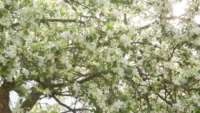 Pan video of apple tree in blossom Stock Photos