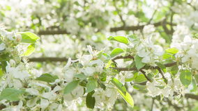Pan video of apple tree in blossom Royalty Free Stock Photo