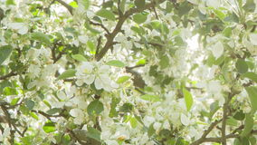 Pan video of apple tree in blossom. Sun peaking through stock footage