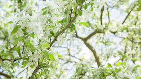 Pan video of apple tree in blossom. Sun peaking through stock video