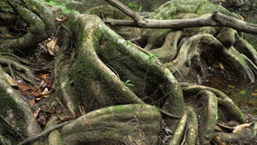 Pan video of a fig tree trunk. Pan video of giant roots of a fig tree,  forest landscape at Khao Yai national park, Thailand. 4K stock footage shot at winter stock footage
