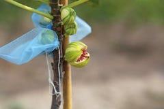 Panache fig fruit broke up,. Panache fig fruit broke up on rainy season stock image