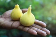 Panache figs fruits in hand. royalty free stock photography