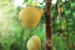 Panache figs fruits on tree. Panache yellow stripe figs fruits are ripe on tree royalty free stock photos