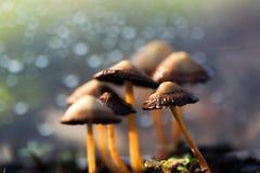 Panaeolina Foenisecii - Common garden mushroom Stock Photo