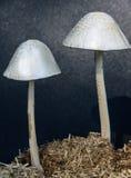 Panaeolus蘑菇 免版税库存照片