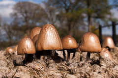 Panaeolus Semiovatus Mushrooms. Mushrooms growing in horse manure Stock Photography