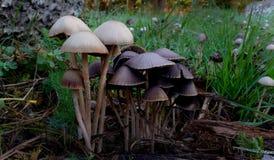 Panaeolus sphinctrinus. Royalty Free Stock Image