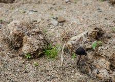 Panaeolus sphinctrinus pieczarka na wysuszonym elephent łajnie Zdjęcia Royalty Free