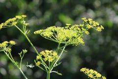 Panais, sauvage (Pastinaca sativa) Photographie stock