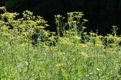 Panais, sauvage (Pastinaca sativa) Images libres de droits