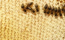 Panal Ciérrese encima de la opinión las abejas de trabajo en las células de la miel Foto de archivo libre de regalías