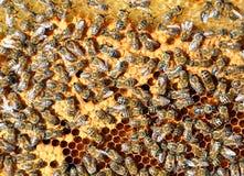 Panal con la abeja en ella Imagen de archivo