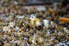 Panal con la colmena de la abeja, apicultura de Vietnam Fotografía de archivo