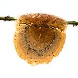 Panal con la miel y la abeja Fotografía de archivo