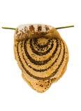 Panal con la miel y la abeja Fotografía de archivo libre de regalías