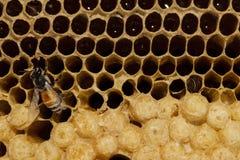 Panal con la miel y la abeja joven. Foto de archivo libre de regalías